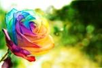 rainbow_rose_wallpaper_by_eliseenchanted-d3d37e5