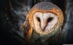 owl_portrait_2-wallpaper-2880x1800